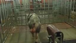 Ветврач подрочил хряку и дал ему свинку