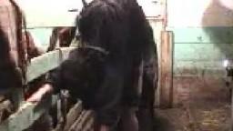 Резвый черный конь страстно трахает бабу в большую попку анал зоо секс